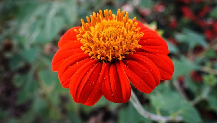 Image of zinnia flower