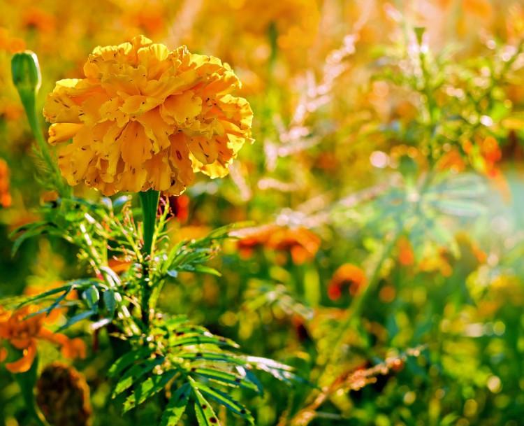 Image of marigolds.