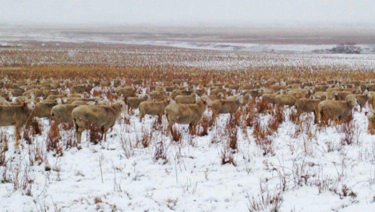 hidden sheep zoomed