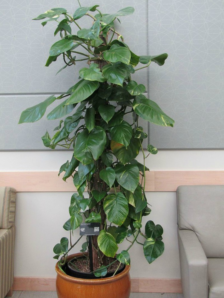 Image of pothos ivy
