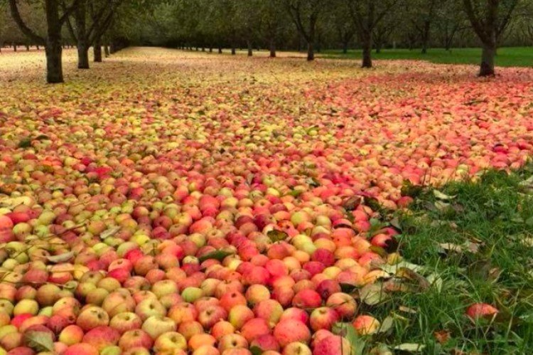 nature apples