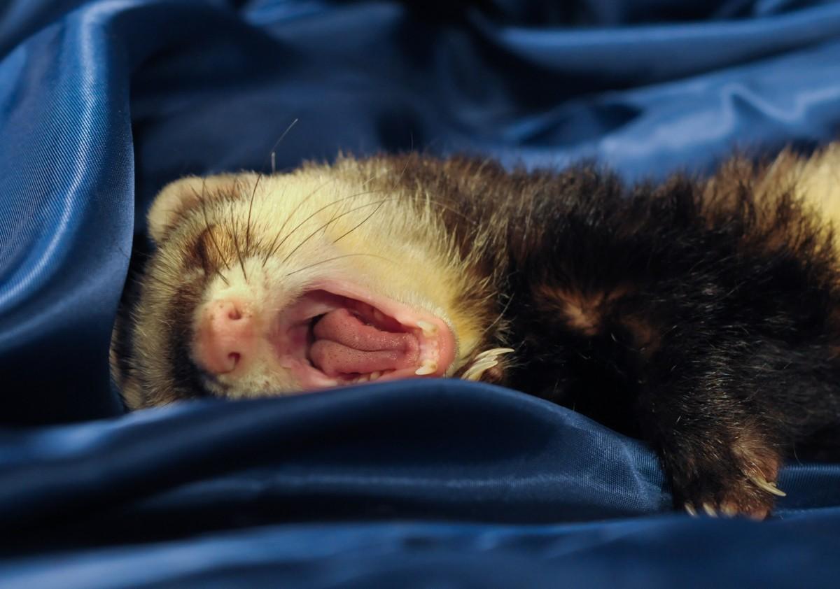 ferret_yawn_language_domestic_animal-1375480