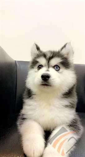 إكراه لفصل مسح كلاب للبيع هاسكي Outofstepwineco Com