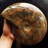 Magnificent 13,477.5 carat Ammonite fossil