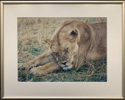 Beautiful Sleeping Female Lion Photogravure