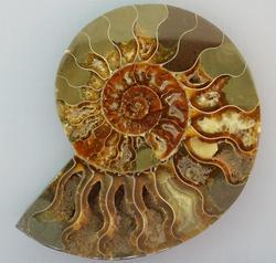 Huge 1129ct Ammonite fossil cut