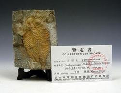 Trilobite Fossil with Collector's Certificate