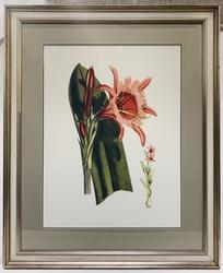 Beautiful Photogravure of a Pink Lily