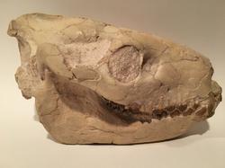 Oreodont Skull, Oligocene Mammal, South Dakota