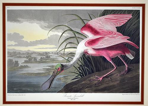 Framed Roseate Spoonbill Art Print, John James Audubon
