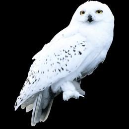 ¿Por qué Harry decidió llamar a su lechuza Hedwing? - Harry Potter y la Piedra Filosofal - Test
