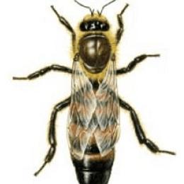 ¿Cuánto sabemos sobre el maravilloso mundo de las abejas? ¿Con qué se alimenta a una abeja para que se concierta en reina?