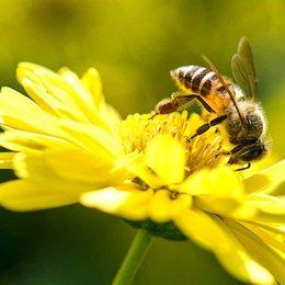 ¿Con qué sustancia se mezcla el néctar para elaborar la miel? - ¿Cuánto sabemos sobre el maravilloso mundo de las abejas?