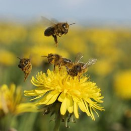 """¿A qué se le llama """"polinización""""? - ¿Cuánto sabemos sobre el maravilloso mundo de las abejas?"""