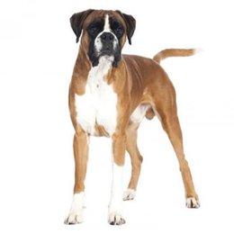 Adivina la raza de PERRO! De que raza es este perro?