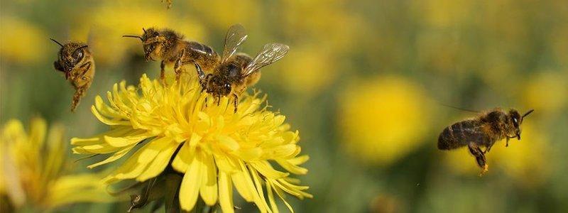 Preguntas y respuestas: ¿Cuánto sabemos sobre el maravilloso mundo de las abejas?