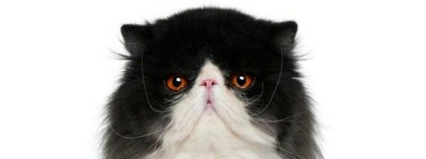 Preguntas y respuestas: que tanto sabes de tu animal favorito los gatos uwu