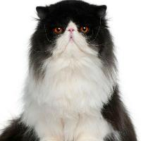 como se llaman los gatos que tienen los ojos chuecos y son muy tiernos una pista una youtuber tiene 3 gatos de esos y se le murieron 4 en total de gatos - que tanto sabes de tu animal favorito los gatos uwu