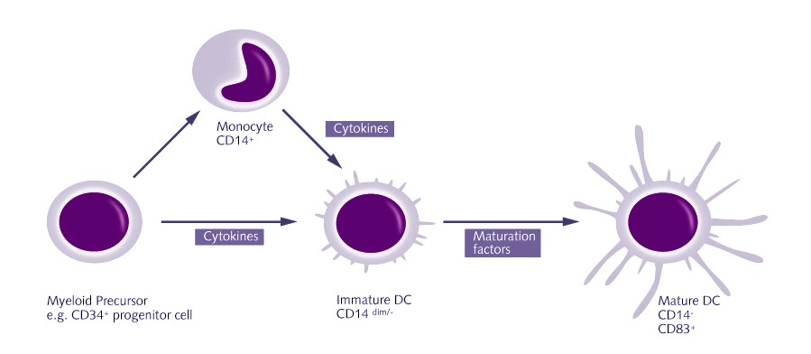 Dendritic cell therapy, dc vaccine, dendritic cells, immunotherapy, alternative cancer treatment, cancer treatment,