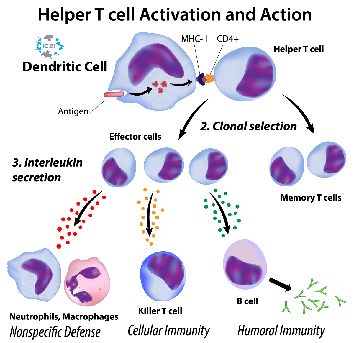 dendritic cell therapy, DC vaccine, dendritic cells, monocyte therapy, immune cell therapy, immune cells 21, alternative cancer treatment,