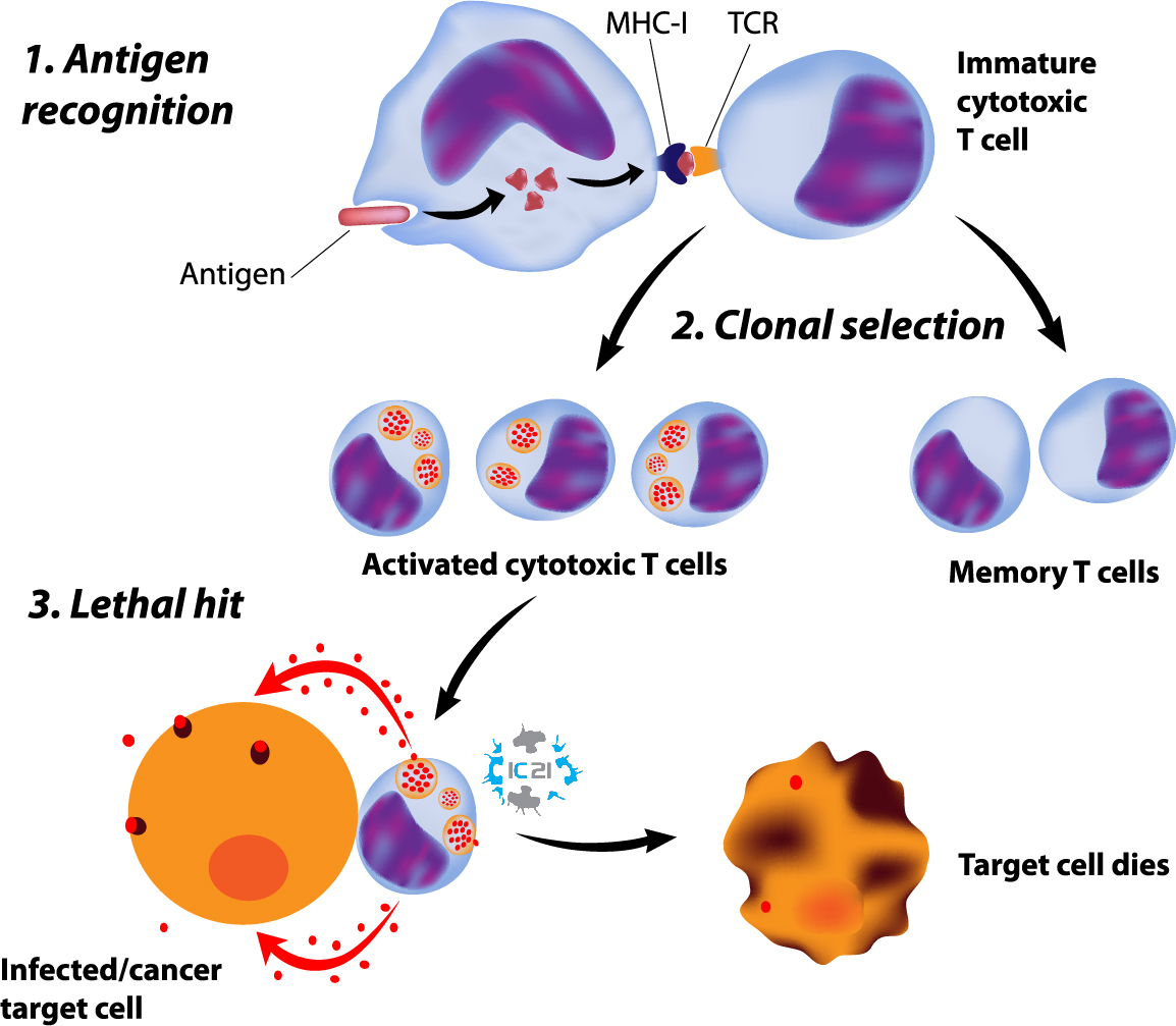 activated killer cells, natural killer cells, killer cells thailand, nk cells thailand, immune cell therapy,