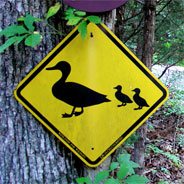 Descendant Ducks crossing