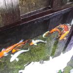 Blm koi fish