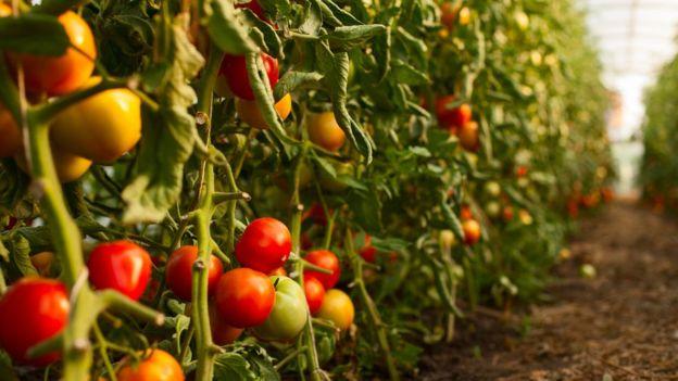 El sabor umami es característico en los tomates. FOTO: ISTOCK.
