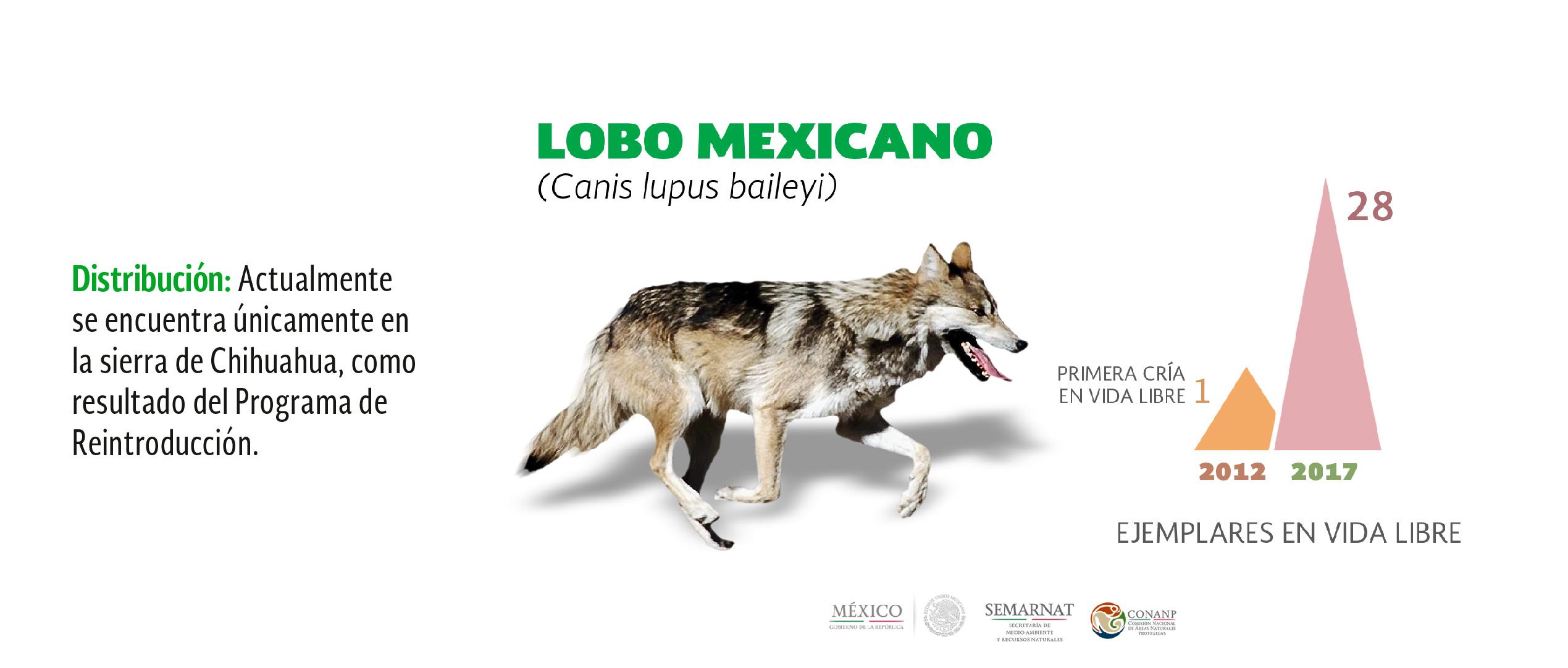 Lobo Gris Mexicano Foto De: Celebra CONANP Nacimiento De 10 Crías De Lobo Mexicano