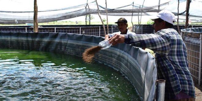 Todo un reto la producci n de tilapia en estanques info for Como oxigenar un estanque de tilapias