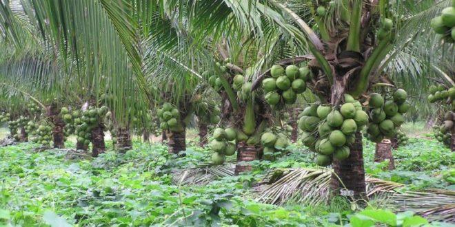 Buscan Cultivar Coco De La Variedad Enano Verde Info Rural