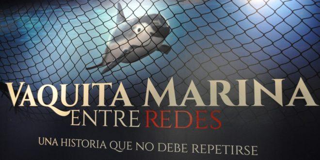 Vaquita marina entre redes: una historia que no debe repetirse ...