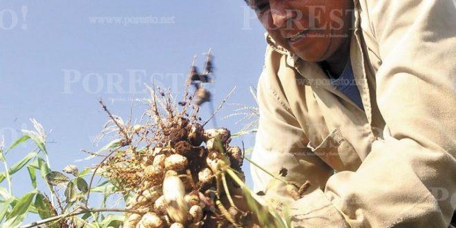 Cosecha De Cacahuate Anima A Productores De Opichén Info Rural