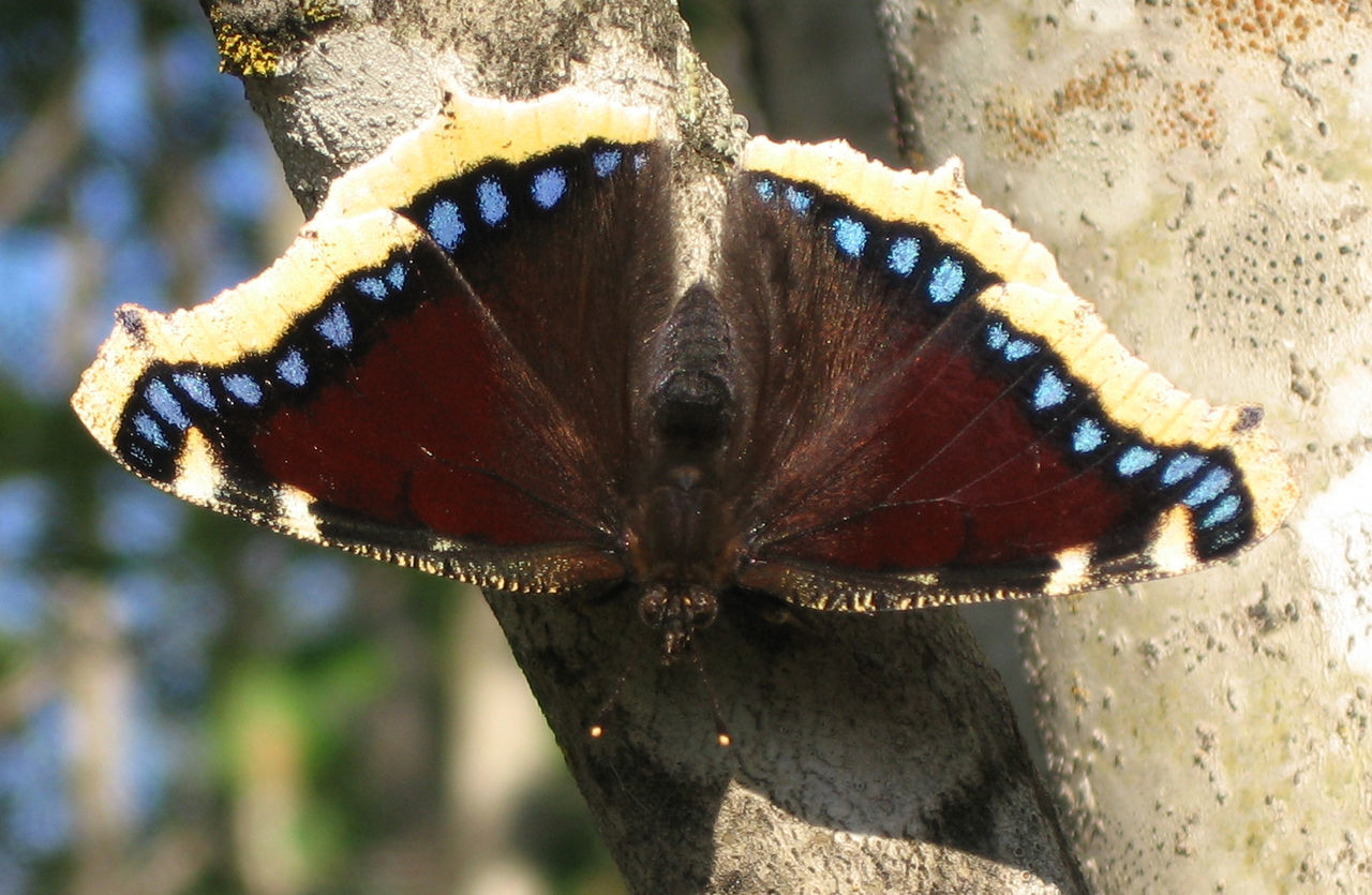 <p>The Mourning Cloak butterfly, the Nymphalis antiopa, or in Yiddish<em> </em>טרויער־פֿלאַטערל (<em>troyer-flaterl</em>) or טרויערניצע (<em>troyernitse</em>). (Via&nbsp;wiki-commons)</p>
