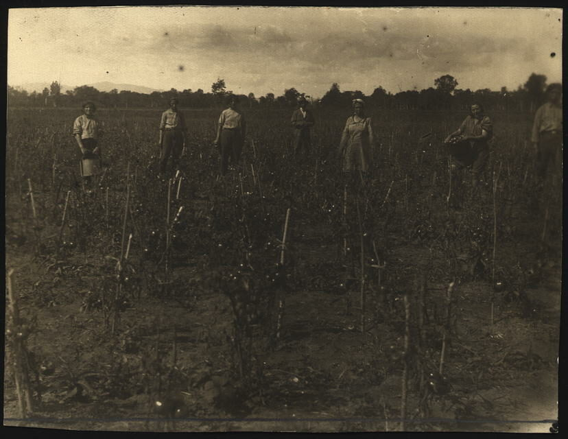"""<p>Harvesting tomatoes, from the <a href=""""http://international.loc.gov/cgi-bin/query/r?intldl/mtfront:@field(NUMBER+@band(mtfxph+na0025_06001))::"""" target=""""_blank"""">National Library of Russia Department of Prints</a> St. Petersburg,&nbsp;Russia.</p>"""