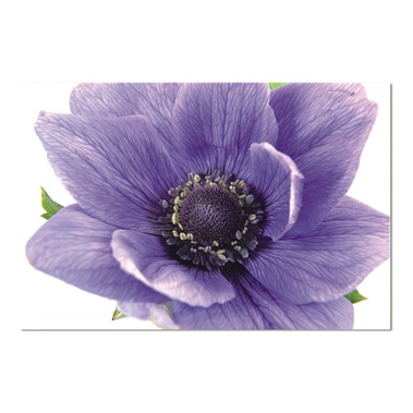 Flowering Plant Of Anemone