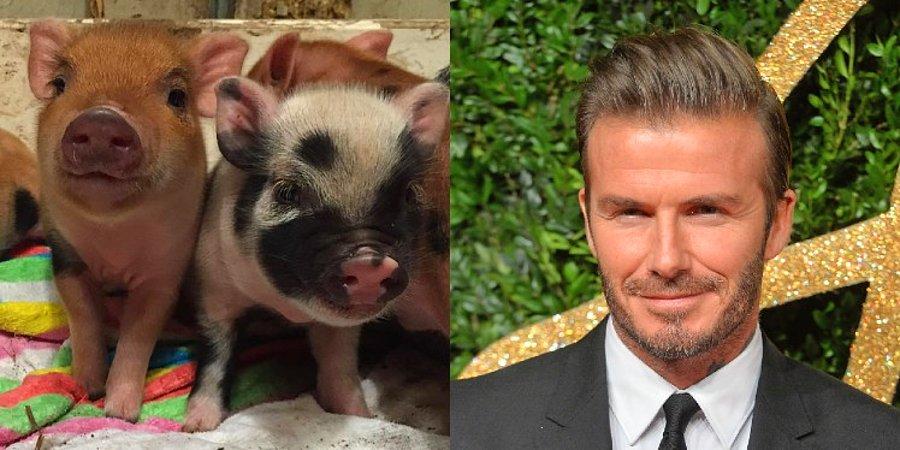 David Beckham's Micro Pigs | 8 Weirdest Celebrity Pets | InstantHub