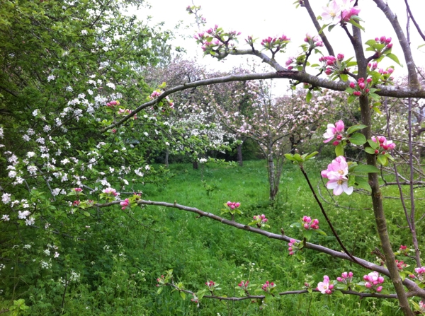 Free Fruit Trees for Radstock & Westfield
