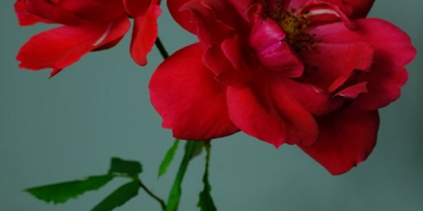 How to Make a Bomb: on rose propagation & political plant biographies