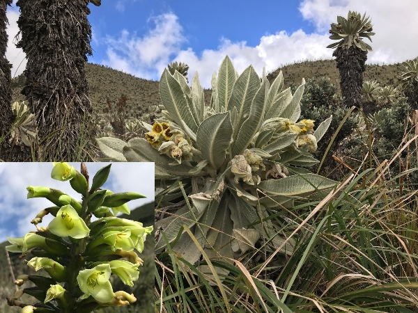'Flowers from the Avenue of the Volcanoes (AGS expedition to Ecuador)'