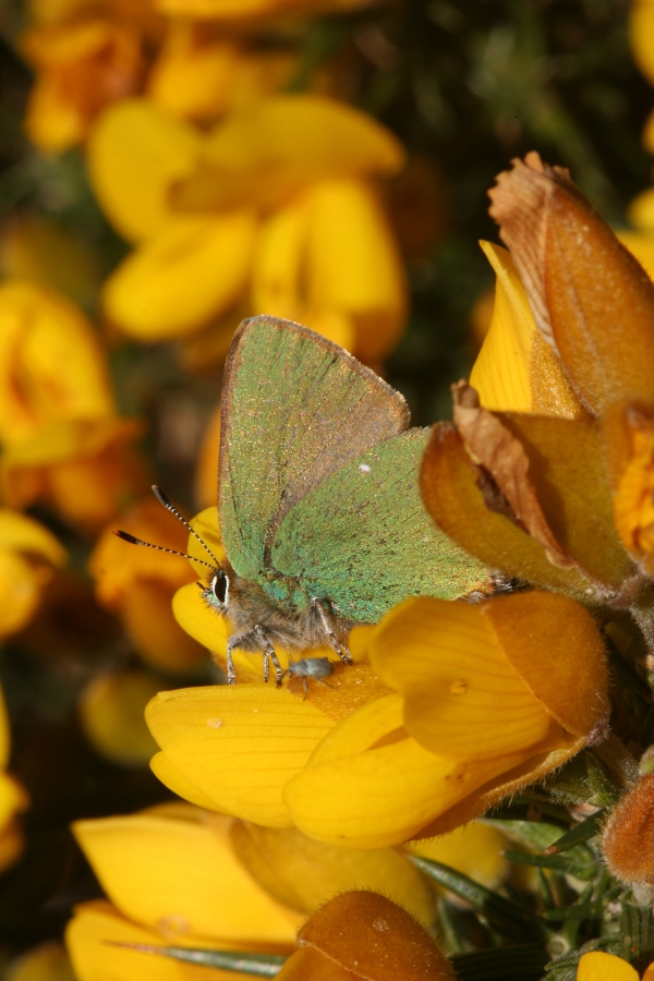 Green Hairstreak butterfly recording