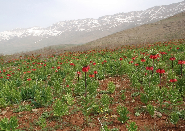 Floral Treasures of Iran - A Persian Odyssey by Pietro Roseo