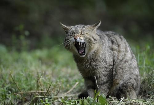 wildcat-356805_640.jpg