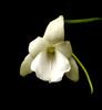 92 angraecum magdalenae 03