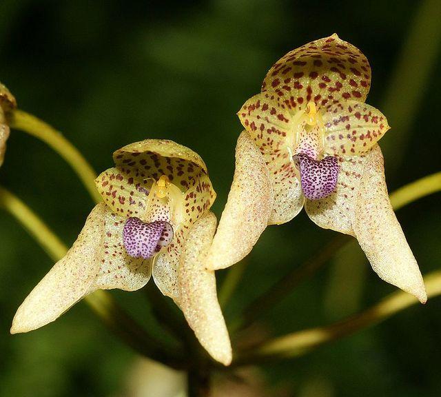 Bulbophyllum guttulatum orchi 031