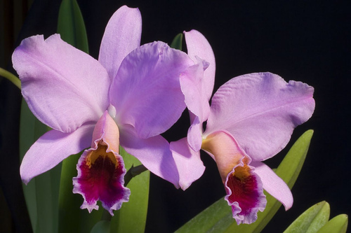 Cattleya perciviliana %282%29