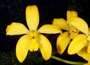 Cattleya esalqueana orchi 013