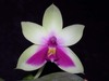 Phalaenopsis bellina toapel