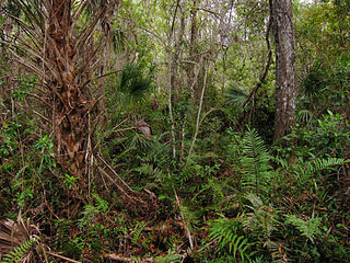 320px fakahatchee strand preserve