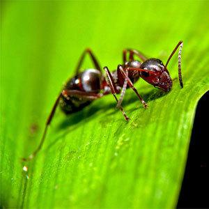 800px ant on leaf